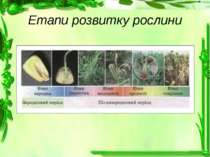 Етапи розвитку рослини