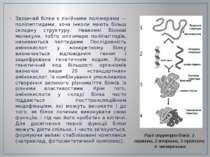 Зазвичай білки є лінійними полімерами — поліпептидами, хоча інколи мають біль...