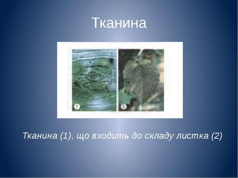 Тканина Тканина (1), що входить до складу листка (2)