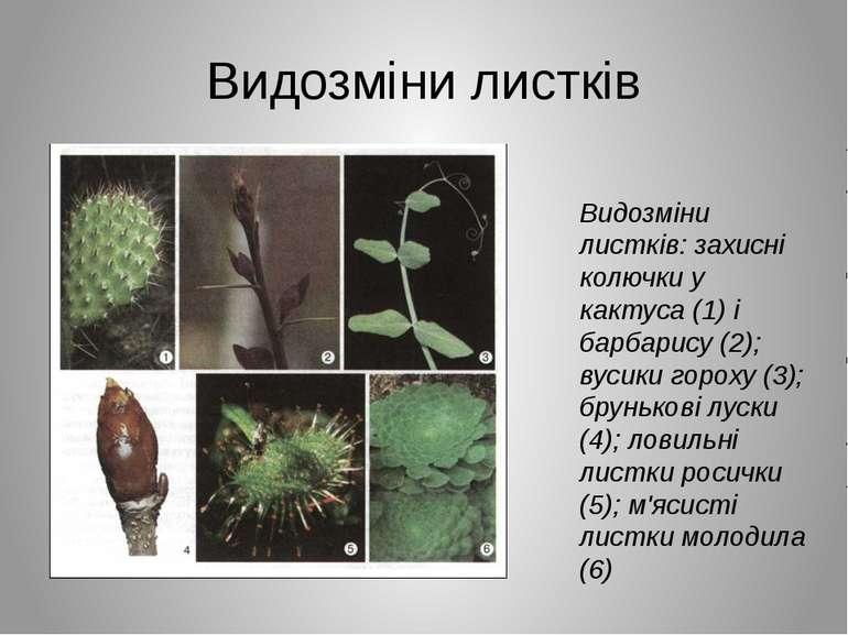 Видозміни листків Видозміни листків: захисні колючки у кактуса (1) і барбарис...