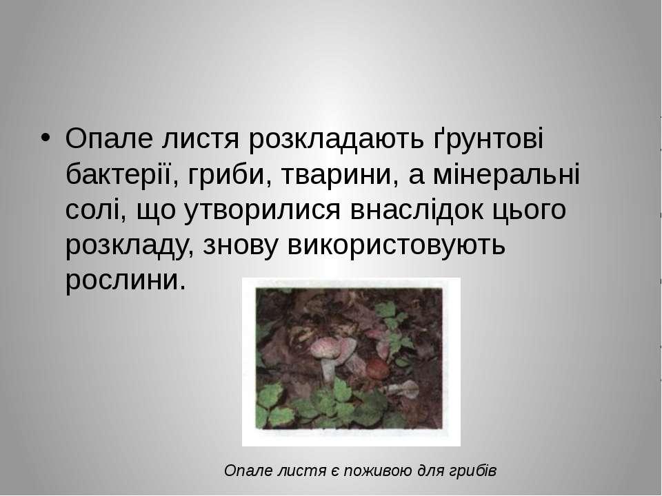 Опале листя розкладають ґрунтові бактерії, гриби, тварини, а мінеральні солі,...