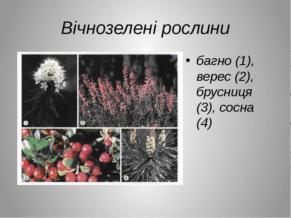 Вічнозелені рослини багно (1), верес (2), брусниця (3), сосна (4)