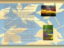 Тюльпан Коренева система Складається з щорічно відмираючого додаткового корін...