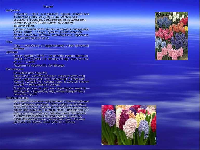 Гіацинт Цибулина Цибулина— від 6 см вдіаметрі, тверда, складається з м'ясис...