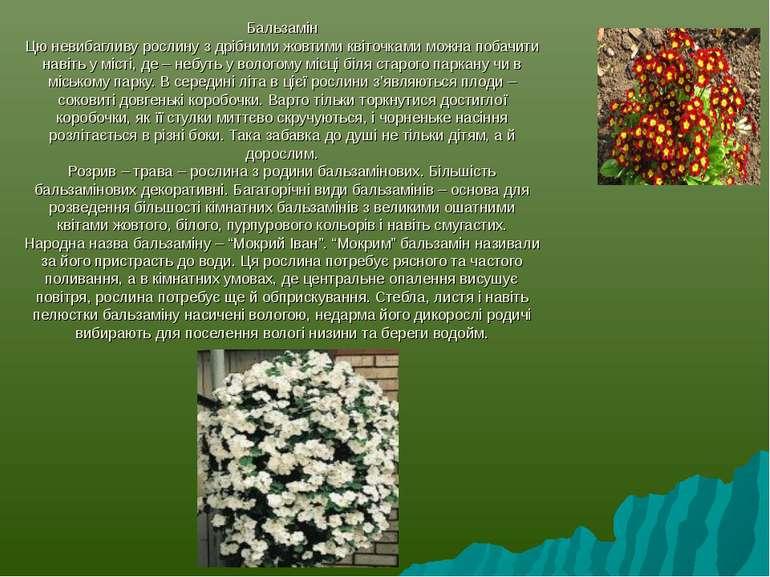 Бальзамін Цю невибагливу рослину з дрібними жовтими квіточками можна побачити...