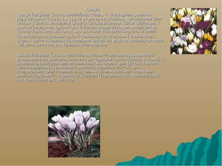 Крокус Крокус Гейфеля,Crocus heuffelianus Herb.) — багаторічна рослина роду...