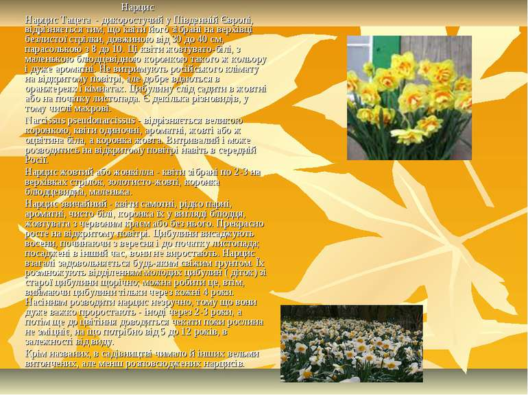 Нарцис Нарцис Тацета- дикоростучий у Південній Європі, відрізняється тим, щ...