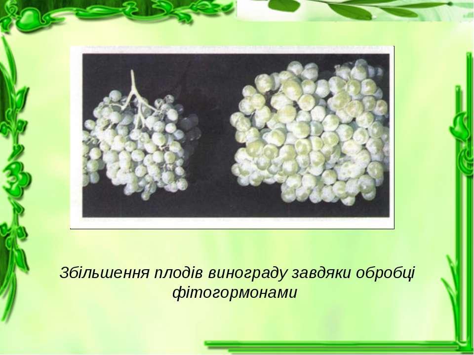 Збільшення плодів винограду завдяки обробці фітогормонами
