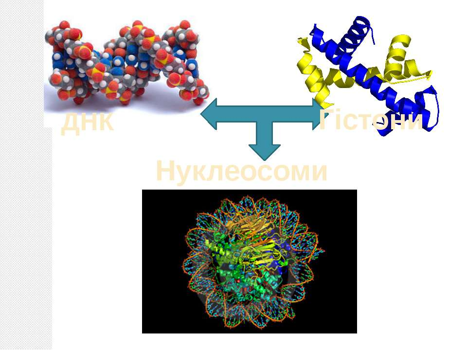 ДНК Гістони Нуклеосоми