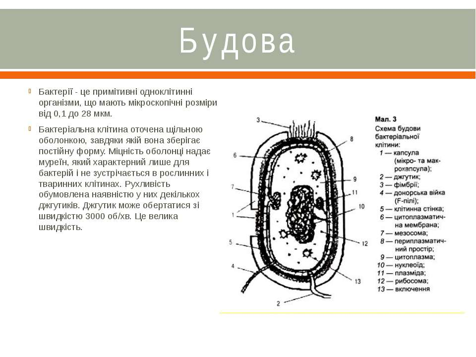 Будова Бактерії - це примітивні одноклітинні організми, що мають мікроскопічн...