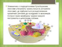 Зливаючись з ендоцитозними бульбашками, лізосоми утворюють травну вакуоль (вт...