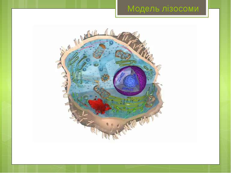 Модель лізосоми