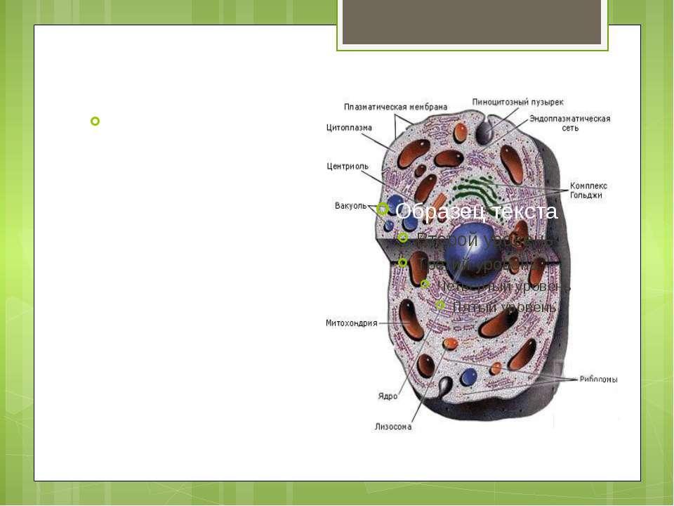 Лізосоми - це мембранні бульбашки величиною до 2 мкм. Усередині лізосом містя...