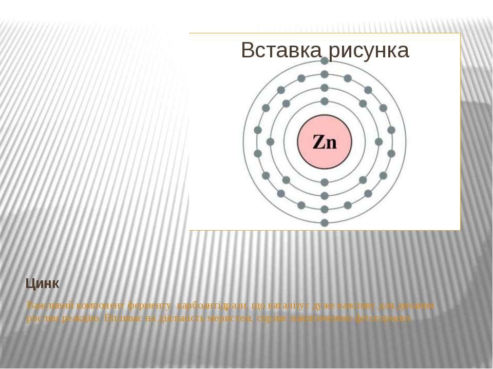 Цинк Важливий компонент ферменту карбоангідрази, що каталізує дуже важливу дл...