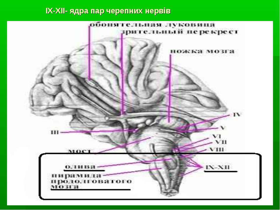 IX-XII- ядра пар черепних нервів