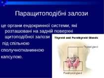 Паращитоподібні залози це органи ендокринної системи, які розташовані на задн...