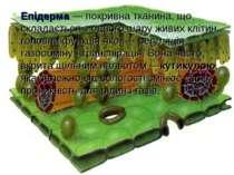 Епідерма— покривна тканина, що складається з одного шару живих клітин, голов...