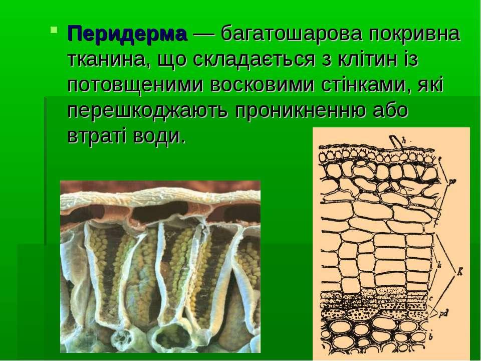 Перидерма— багатошарова покривна тканина, що складається з клітин із потовще...