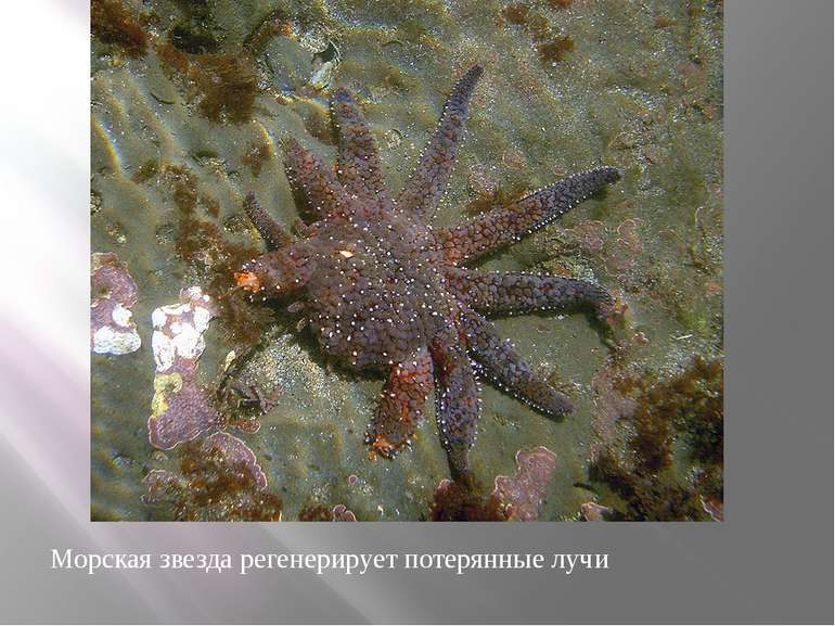 Морская звезда регенерирует потерянные лучи