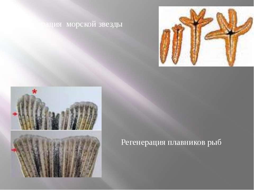 Регенерация морской звезды Регенерация плавников рыб