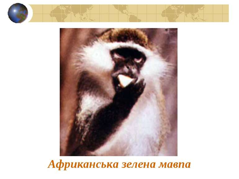 Африканська зелена мавпа
