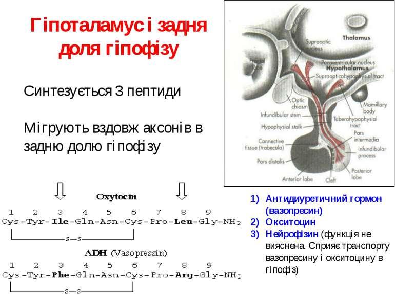 Гіпоталамус і задня доля гіпофізу Синтезується 3 пептиди Мігрують вздовж аксо...