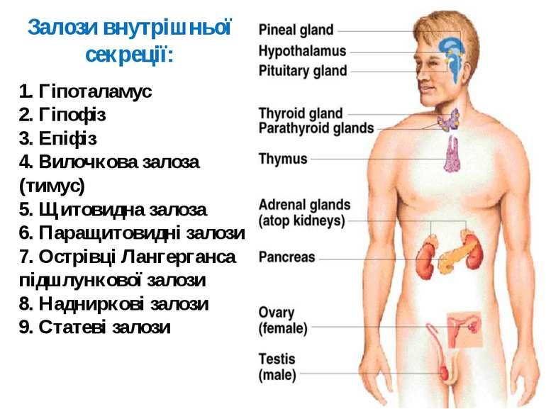 1. Гіпоталамус 2. Гіпофіз 3. Епіфіз 4. Вилочкова залоза (тимус) 5. Щитовидна ...