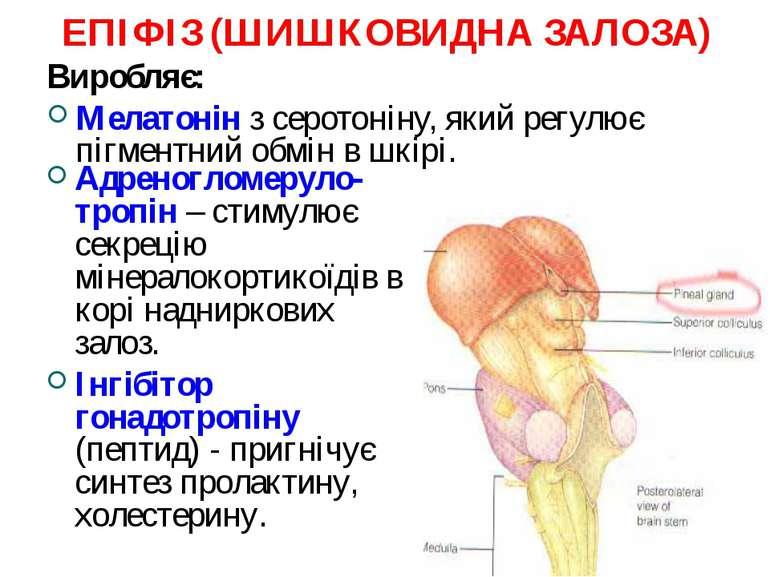 ЕПІФІЗ (ШИШКОВИДНА ЗАЛОЗА) Виробляє: Мелатонін з серотоніну, який регулює піг...