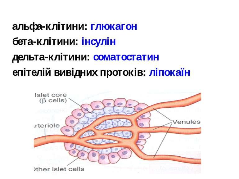 альфа-клітини: глюкагон бета-клітини: інсулін дельта-клітини: соматостатин еп...