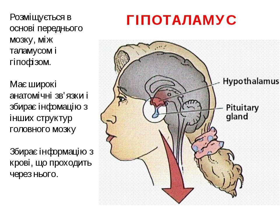 ГІПОТАЛАМУС Розміщується в основі переднього мозку, між таламусом і гіпофізом...