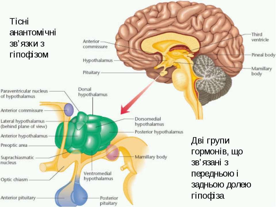 Тісні анантомічні зв'язки з гіпофізом Дві групи гормонів, що зв'язані з перед...
