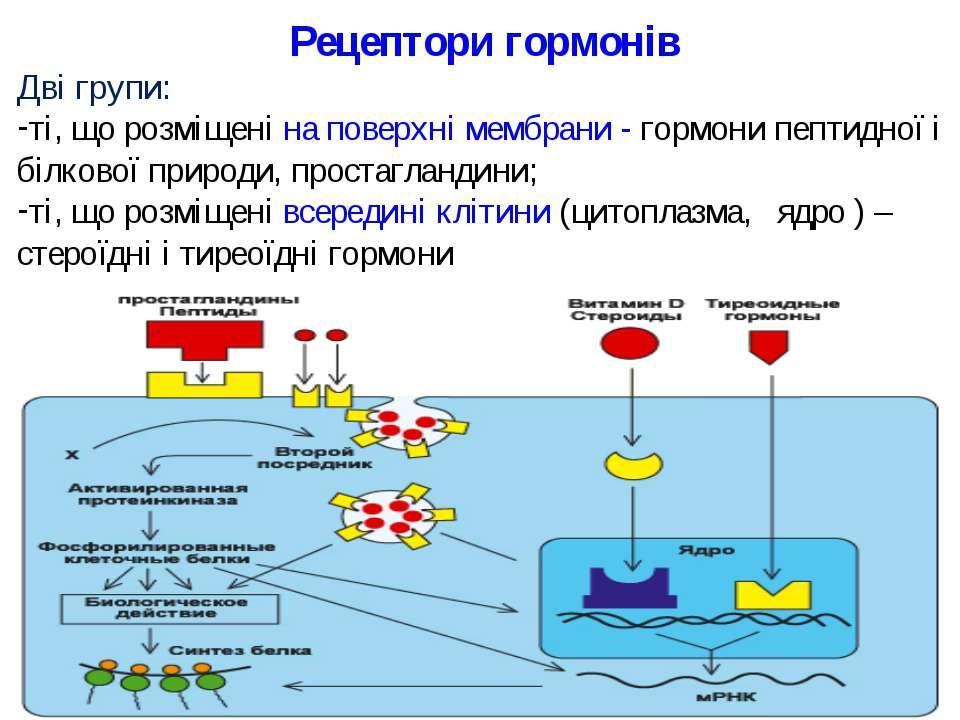 Рецептори гормонів Дві групи: ті, що розміщені на поверхні мембрани - гормони...