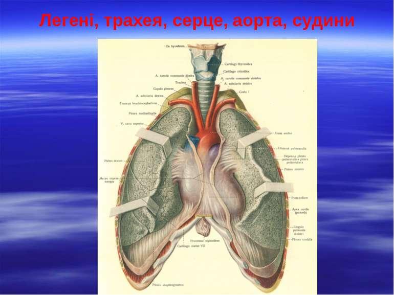 Легені, трахея, серце, аорта, судини