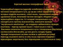 Короткий анатомо-топографічний нарис Червоподібний відросток (appendix vermif...