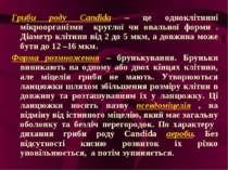 Гриби роду Candida – це одноклітинні мікроорганізми круглої чи овальної форми...