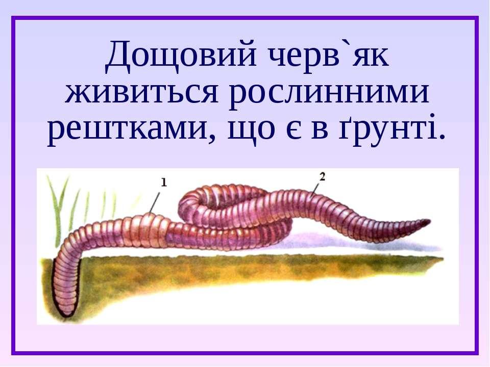 Дощовий черв`як живиться рослинними рештками, що є в ґрунті.