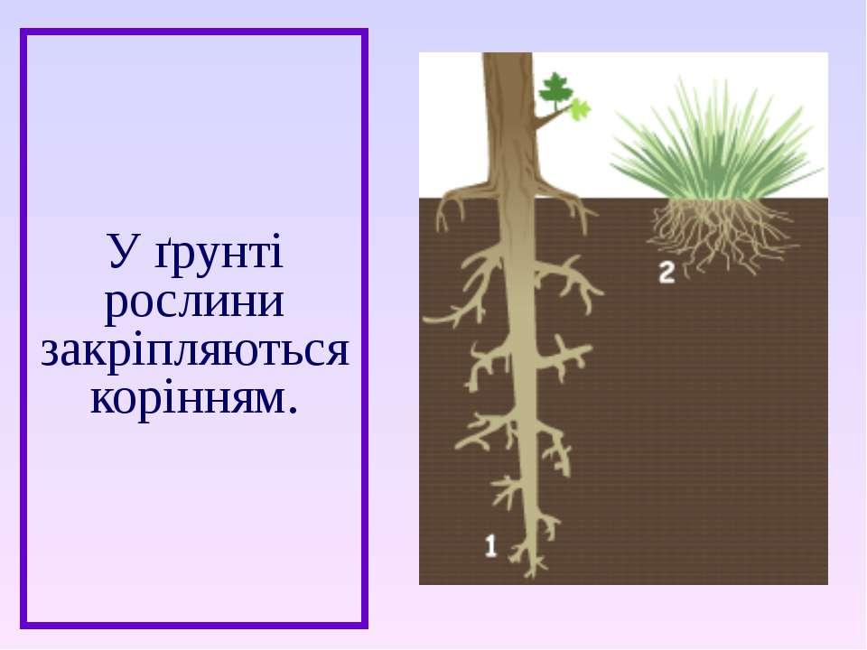 У ґрунті рослини закріпляються корінням.