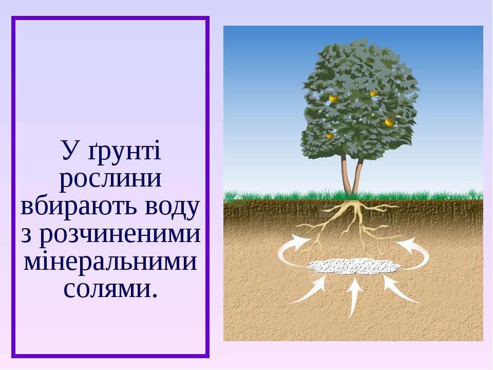 У ґрунті рослини вбирають воду з розчиненими мінеральними солями.