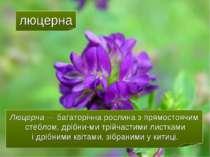 люцерна Люцерна — багаторічна рослина з прямостоячим стеблом, дрібни ми трійч...