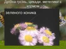 Дрібна гусінь, цикади, метелики є кормом зеленого коника