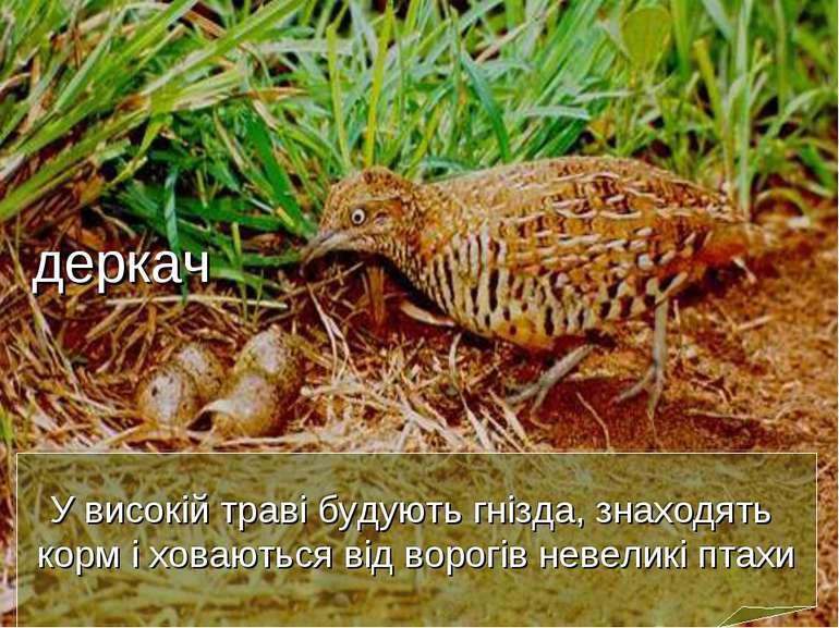 У високій траві будують гнізда, знаходять корм і ховаються від ворогів невели...