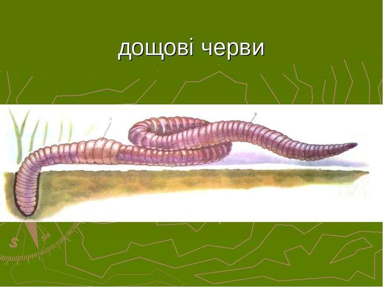дощові черви