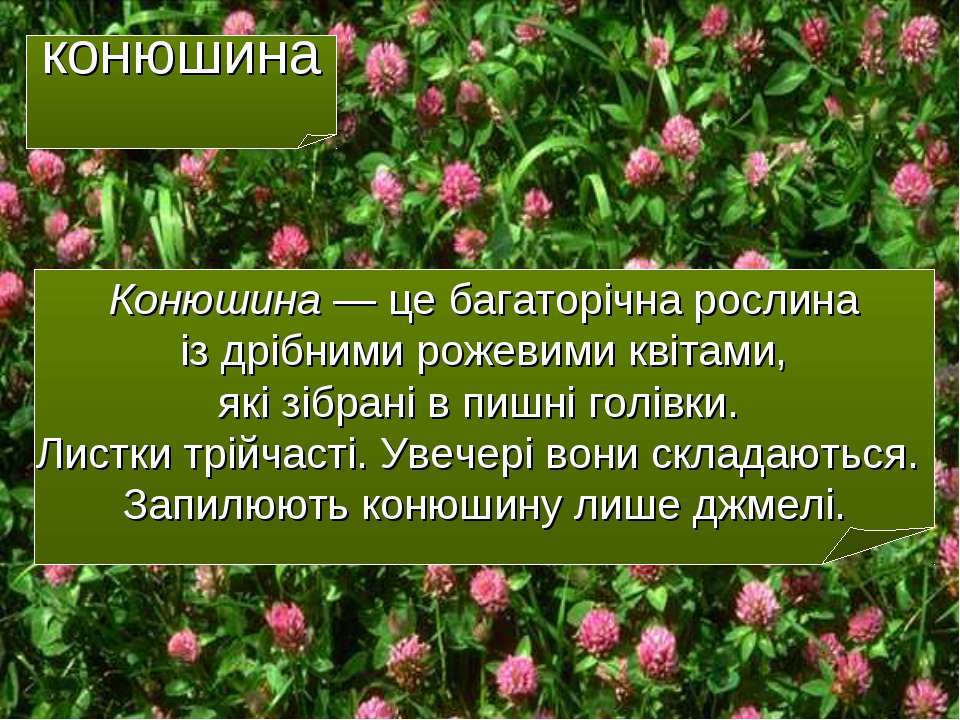 конюшина Конюшина — це багаторічна рослина із дрібними рожевими квітами, які ...