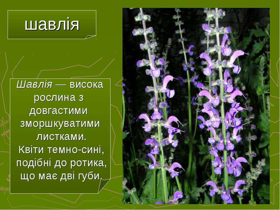 шавлія Шавлія — висока рослина з довгастими зморшкуватими листками. Квіти тем...