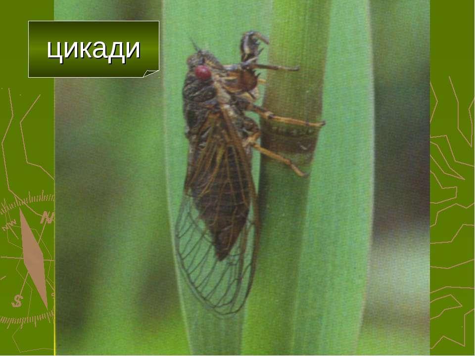 цикади