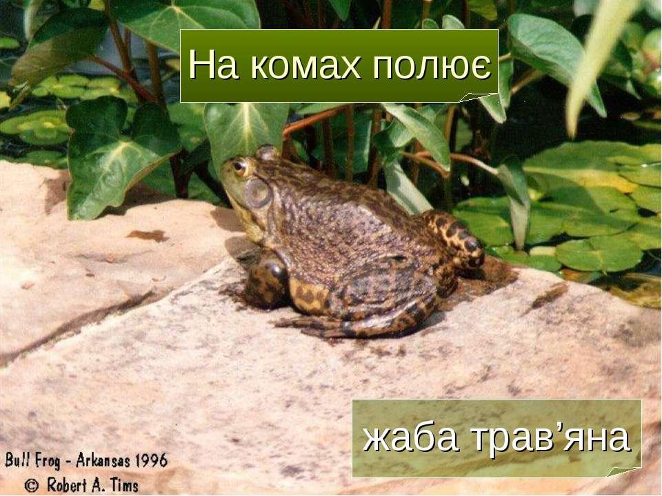 На комах полює жаба трав'яна
