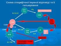 Схема специфічної імунної відповіді та її гальмування CD4 CD4 TH1 CD4 TH2 CD8...