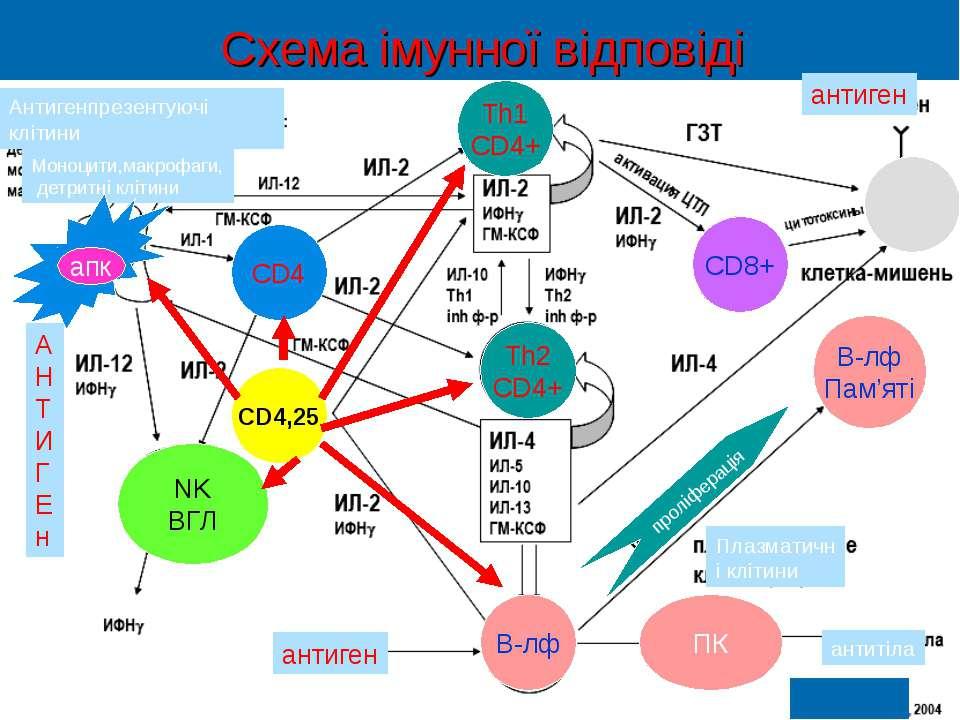 Схема імунної відповіді А Н Т И Г Е н CD4,25