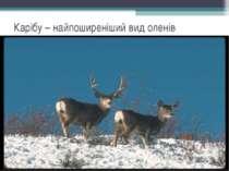 Карібу – найпоширеніший вид оленів