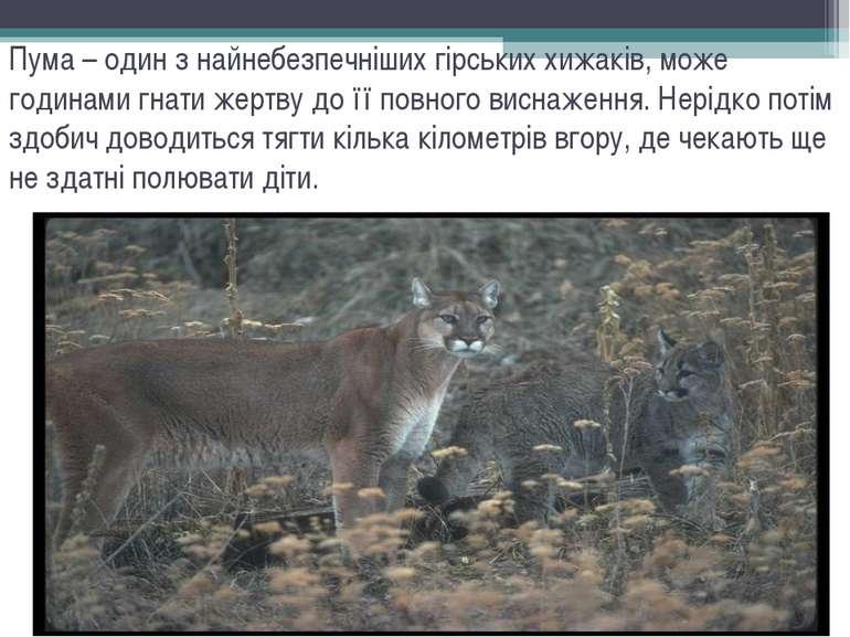 Пума – один з найнебезпечніших гірських хижаків, може годинами гнати жертву д...